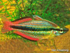 Melanotaenia trifasciata from the Goyder River, Australia. Aquarium Design, Underwater House, Underwater World, Colorful Fish, Tropical Fish, Fishing World, Freshwater Aquarium Fish, Rainbow Fish, Beautiful Fish