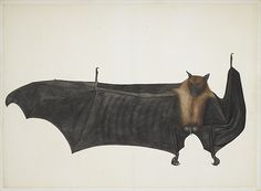 Attributed to Bhawani Das or a follower. Great Indian Fruit Bat, ca. 1777–82. The Metropolitan Museum of Art, New York. Purchase, Anonymous Gift, Cynthia Hazen Polsky Gift, Virginia G. LeCount Bequest, in memory of The LeCount Family, 2007 Benefit Fund, Louis V. Bell, Harris Brisbane Dick, Fletcher, and Rogers Funds and Joseph Pulitzer Bequest, and Gift of Dr. Mortimer D. Sackler, Theresa Sackler and Family, 2008(2008.312)