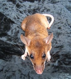 groove-toothed rat - Google Search