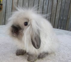 A baby Mini-Lionhead Lop Rabbit. Is the world ready for this combo of cuteness?
