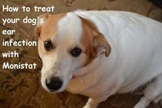 Learn how to use Monistat, an inexpensive over-the-counter medicine, to treat yeast infections in your dog's ears.