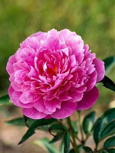 Better Times        A classic from the 1940s, 'Better Times' offers bright pink blooms on tall stems.        Name: Paeonia 'Better Times'        Bloom Time: Mid- to late season        Growing Conditions: Full sun and well-drained soil        Size: To 38 inches tall        Zones:3-7        Native to North America: No        Why We Love It: The plant is very showy and it's an especially good cut-flower variety.
