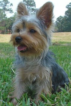 Picture Yorkshire Terrier   Yorkshire Terrier