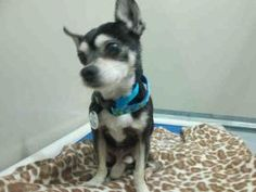 A384653 is an adoptable Chihuahua Dog in Upper Marlboro, MD.  ...