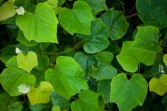 The Grape Leaves Are Ready For Picking! | Melinda Fager's Blog