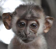 baby face - Primates Wallpaper ID 727988 - Desktop Nexus Animals Cute Creatures, Beautiful Creatures, Animals Beautiful, Monkey Pictures, Funny Animal Pictures, Animal Pics, Baby Animals, Funny Animals, Cute Animals