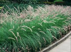 Containers at Entrance & Fountain Grass - green No Grass Backyard, Backyard Fences, Perennial Grasses, Perennials, Patio Trees, Landscaping Shrubs, Fountain Grass, Deck With Pergola, Front Entrances