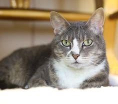 Monroe is a fun-loving gal that enjoys being in the company of others. She is shy at first, but once she feels comfortable, the affection that she gives is endless! She is quick to purr and give headbutt-kisses to her friends and loves to be pet.  She is startled easily so a home with mature, respectful children or adults only would be best. She has had mixed history with other cats and dogs and may prefer to be the only pet in your home.  If you think Monroe could have a place in your…