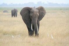 Éléphant, Afrique, Safari