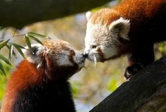 I red pandas (esp when they smooch) Cute Animals Kissing, Baby Animals, Funny Animals, Animal Pictures, Cute Pictures, Cool Photos, Green Tips, Mundo Animal, Brown Bear