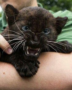 Black Panther kitten