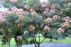 My beautiful Mimosa Tree in August
