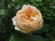 The rose Jude the Obscure is one of the most fragrant on the market and blooms for months. #flowers