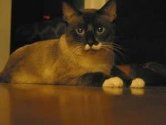 Snowshoe - fun cat to have