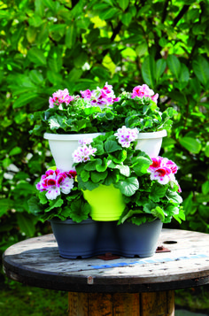 Pottery with frensh geraniums