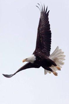 bald eagle, Chilkat Eagle Preserve north of Haines, Alaska All Birds, Birds Of Prey, Nature Animals, Animals And Pets, Beautiful Birds, Animals Beautiful, Aigle Animal, Eagle Pictures, Photo Animaliere