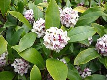 Daphne odora - evergreen that blooms in winter! Shrubs that bloom all year. Shade Shrubs, Plants, Shrubs, Fragrant Flowers, Trees And Shrubs, Daphne Plant, Best Shrubs For Shade, Poisonous Plants, Shade Plants