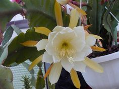 Epiphyllum laui – Orchid Cactus - See more at: http://worldofsucculents.com/epiphyllum-laui-orchid-cactus