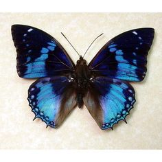 Exotic Butterflies | charaxes smaragdalis blue butterfly from africa real butterflies moths ...