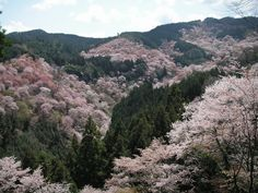 Sakura,  Yoshino, Nara, Japan