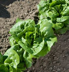 aka Butter Head Lettuce Certified Organic Non-GMO Sprouting Guaranteed. Buttercrunch Lettuce 1000+ Seeds