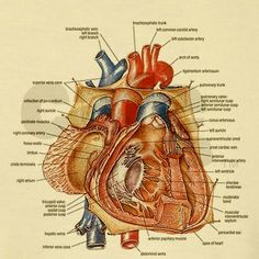 Posterior view of the heart anatomy pinterest cardiology and anatomy of the heart ccuart Choice Image