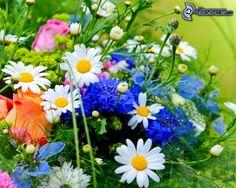 fiori di campo, pratoline, Fiordaliso