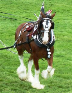 Clydesdale with harness - Look at that fine Draft horse and beautiful harness.