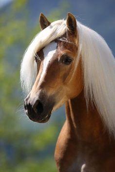 Haflinger Horse 17