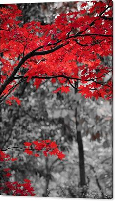 Trendy Black And White Nature Photography Color Splash Autumn Leaves Blur Image Background, Blur Background Photography, Light Background Images, Studio Background Images, Background Images For Editing, Picsart Background, Background Pictures, Photography Backgrounds, Red Photography