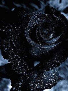 *☆ Black Rose ☆*