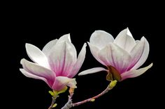 Public domian_magnolia-105336_1280.jpg (1280×853)