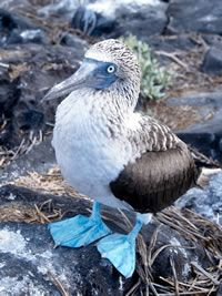 The blue-footed booby. Males take great pride in their fabulous feet & during mating rituals, male birds show off their feet to prospective mates with a high-stepping strut. The bluer the feet, the more attractive the mate.