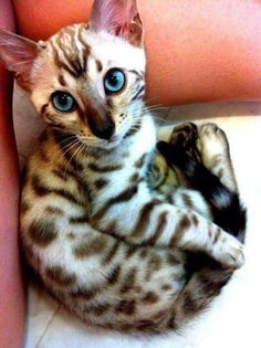 Bengal cat, A girl can dream