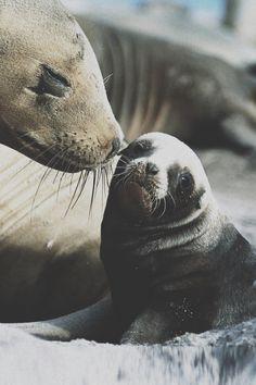 Amor de focas... esta para ponerme a llorar aqui mismo. Me hace pensar en como la especie no cambia el amor que existe entre madre e hijo/a. Es un amor ahavah