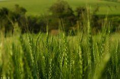 Grainfield, Green, Field  שדה תבואה, שדה, ירוק