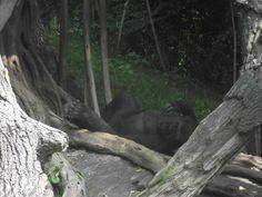 Bronx Zoo: gorilla in siesta