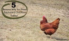 5 Reasons Add Backyard Chickens
