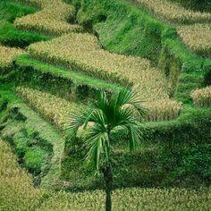 Bali / Tree / Grass