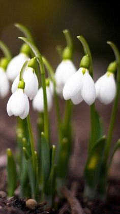 "Snowdrops -- my second favorite flower. I grew up in Louisiana calling these ""Lily of the Valley,"" but found out years later they are snowdrops. Love them just the same."