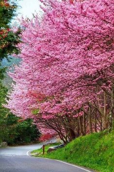 Beautiful Spring Time, I love the flowering trees! Trees And Shrubs, Flowering Trees, Blooming Trees, Beautiful Flowers, Beautiful Places, Flowers Nature, Beautiful Pictures, Blossom Trees, Cherry Blossoms