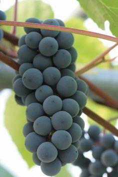 Vindruva / staketdruvor - VITIS LABRUSCA. Vitis (Labrusca-gruppen) Zilga - Frukt och bär - Växter. Härdighet: zon 1-6. Bäst i full sol. De flesta är självfertila. Sun