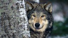 Gray Wolf by Corbis