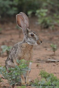 Unusual sighting in broad daylight - a nocturnal scrub hare African Safari, Hare, Animals, Animales, Animaux, Animais, Rabbits, Animal