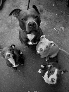 We Kiss Like We Invented It : Photo pitbull family Cute Baby Animals, Animals And Pets, Funny Animals, Cute Puppies, Cute Dogs, Dogs And Puppies, Doggies, Pit Bull Puppies, Beautiful Dogs