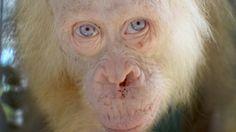 #Artenschutz: Extrem seltener Albino-Orang-Utan auf Borneo gerettet - DIE WELT: DIE WELT Artenschutz: Extrem seltener Albino-Orang-Utan auf…