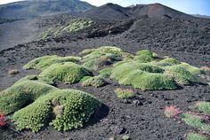 Výsledek obrázku pro silene acaulis Etna