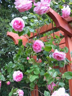 Transplanting a climbing Rose
