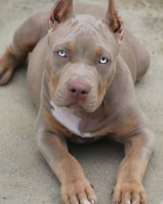 The Coolest Exotic Dog Network For people who simply Love Incredible Exotic Dogs from all over The World! American Pitbull Puppies, Pitbull Dog Puppy, Bully Dog, Merle Pitbull, Amstaff Terrier, Pitbull Terrier, Bull Terriers, Cute Dogs And Puppies, Baby Puppies