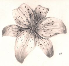 Tiger Lily Flower Drawing Tiger lily flower by kiraleeka